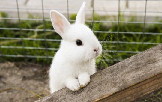 Rabbit Tavşan