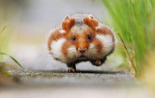 9 maddede hamster bakımı