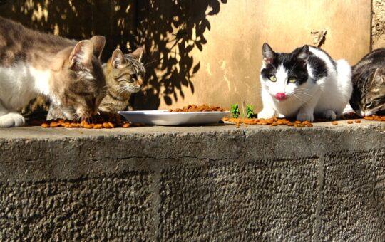 Kedi Sahiplenme, ücretsiz kedi sahiplenme, kedi sahiplenmek, kedi, sokak kedisi, kedi maması,